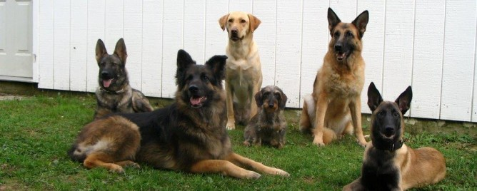Pure Bred German Shepherds
